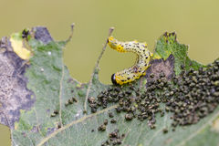 Larva of sawfly. Royalty Free Stock Photos