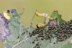 Larva of sawfly. Larva of sawfly (Croesus septentrionalis) feeding on leaf Royalty Free Stock Photos