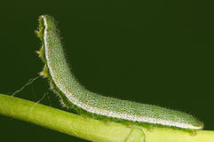 Larva on twig, Anthocharis scolymus Stock Photo