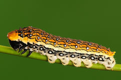 Larva on twig,Chilasaepycides Stock Photography