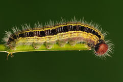 Larva on twig,:Hasora anura Stock Photos