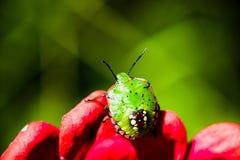 Larva verde meridional del fallo de funcionamiento del hedor en la flor roja Foto de archivo libre de regalías