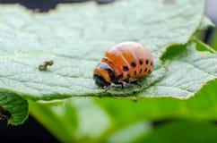 A larva vermelha do besouro de batata de Colorado come as folhas da batata fotos de stock