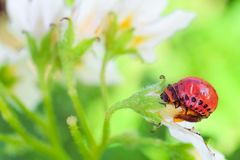 A larva vermelha do besouro de batata de Colorado come a flor da batata branca Close-up da praga de inseto do jardim Fotos de Stock