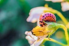 A larva vermelha do besouro de batata de Colorado come a flor da batata Close-up da praga de inseto do jardim Topo vegetal Foto de Stock Royalty Free