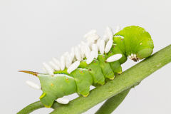Larva with wasp pupae coccoons Stock Photos