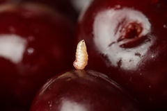 Larva of a worm on a cherry. Larva of a worm on a red cherry stock photo