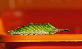 Larvae royalty free stock photo