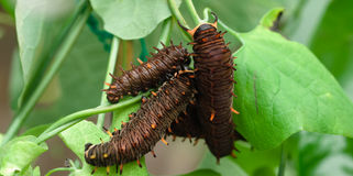 Larvae. Close up on three larvaes on a green leave Stock Photography