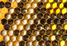 The larvae of bees and pollen Royalty Free Stock Photography