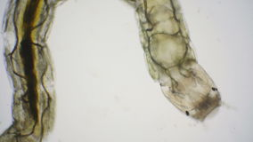 Larvae of chironomids or non-biting midges through a microscope stock video footage