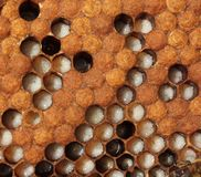 Larvae and cocoons of bees Stock Photography
