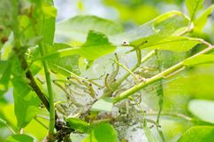 Larvae colony on branch of bird-cherry stock image
