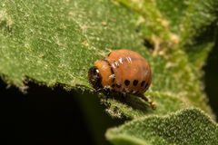 Larvae of colorado beetle on a green leaf Stock Image