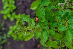 Larvae of the Colorado potato beetle in the natural. Colorado potato beetle larvae on potato Bush stock photography