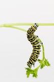 Larvae eating parsley Stock Photo