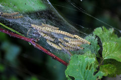 Larvae of Ermine moths Yponomeutidae Stock Photo