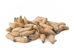 Larvae isolated Royalty Free Stock Photography