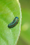 Larvae of leaf beetle Royalty Free Stock Photo