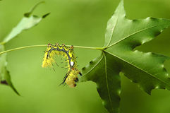 Larvae and maple Royalty Free Stock Photos