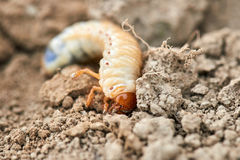 The larvae of the May beetle. Common Cockchafer or May Bug Melolontha melolontha, larva Stock Image
