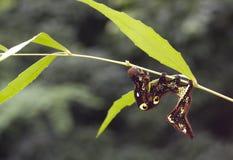 Larvae of moth on leaves Royalty Free Stock Image