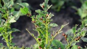 Larvae of potato beetle on tops stock video