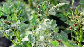 Larvae of potato beetle on tops stock footage
