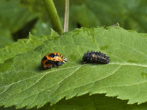 Larvae and pupa of ladybird. Photo shows two different stages of ladybirds life - the larvae and pupa Stock Image