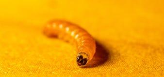 Larvae. A single larvae crawling around on a table, the shot taken in macro stock photos