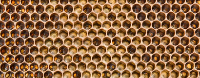 Larvae The Future Of Bees Stock Photography