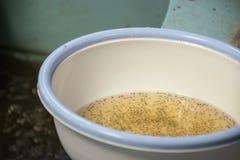 Larval shrimp in plastic bowl. Aquaculture animals stock photos