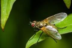 Larvarum de Exorista - insecto en la hoja verde Fotografía de archivo libre de regalías