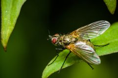 Larvarum Exorista - έντομο στο πράσινο φύλλο Στοκ φωτογραφία με δικαίωμα ελεύθερης χρήσης