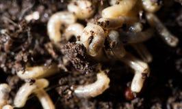 Larvas blancas de la mosca en el suelo Macro fotos de archivo libres de regalías