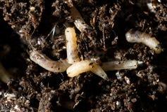 Larvas blancas de la mosca en el suelo Macro imagen de archivo libre de regalías