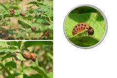 Larvas of a colorado beetle Stock Image
