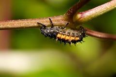 Larvas da joaninha Imagem de Stock