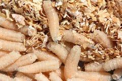 Larvas da mosca fotografia de stock royalty free