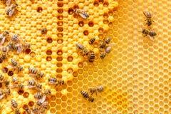 Larvas de abejas en los peines Fotos de archivo libres de regalías