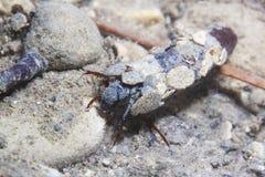 Larvas de Caddisflie sob a água na casa construída Trichoptera imagem de stock royalty free