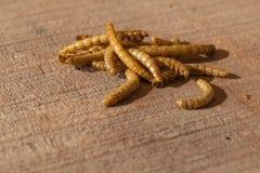 Larvas de farinha comestíveis Fotografia de Stock Royalty Free