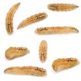 Larvas de Hoverfly fotografía de archivo