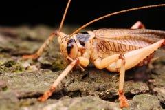 Larvas de Katydids Fotografia de Stock