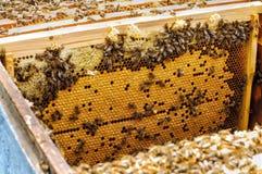 Larvas de la abeja en la colmena en un panal colmena Foto de archivo libre de regalías