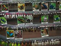 Larvas de la mariposa Imagen de archivo libre de regalías