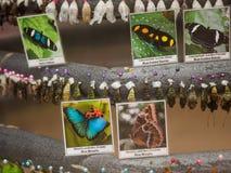 Larvas de la mariposa Imágenes de archivo libres de regalías