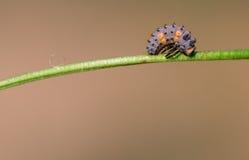 Larvas de la mariquita Fotografía de archivo