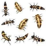 Larvas de la mariquita Imagen de archivo libre de regalías