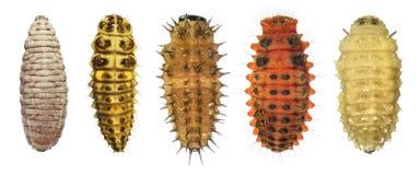 Larvas de la mariquita imagen de archivo